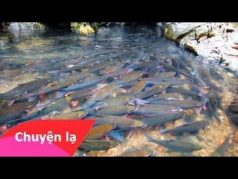 Giải mã bí ẩn suối cá thần ở Cẩm Lương, Cẩm Thủy, Thanh Hóa|Chuyện Lạ Bốn Phương
