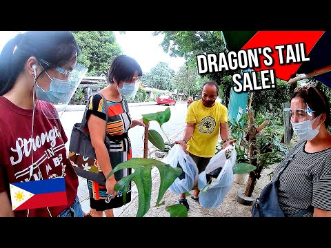 DRAGON'S TAIL PLANTS ON SALE IN U.P. DILIMAN PLANT NURSERY IN QUEZON CITY PHILIPPINES