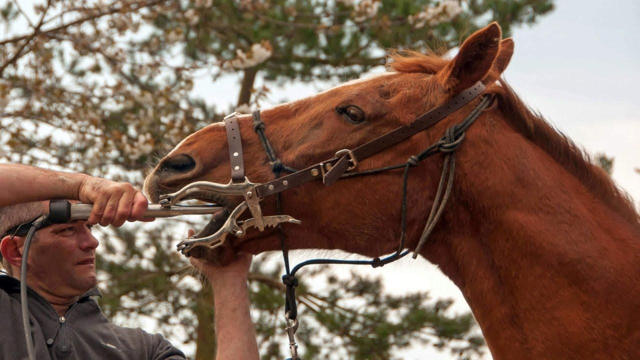 Sharp teeth in equine  Dientes afilados en caballo  Dentes afiados cavalo  Scharfe Zähne beim Pferd