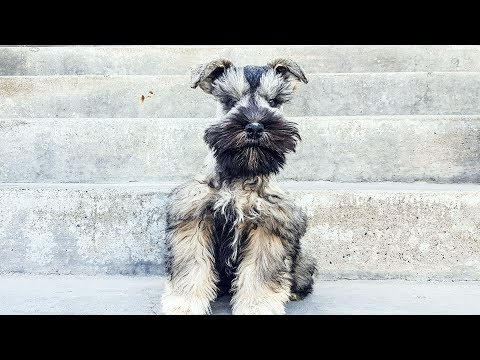 SHE'S SO CUTE!!!! That adorable ball of fur is a Miniature Schnauzer Puppy in Training