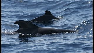 Short-finned pilot whales sighted in Terengganu waters