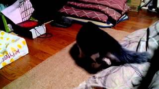 猫も尻尾追うのだ!