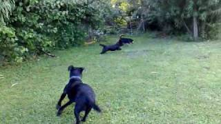 A Black Lab, Pudding Jack Russel, Cairn Cross Patersdale, And 2 Border Terriers.