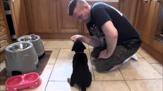 Lady Lara Diaries Week 1 (8 Week Old Puppy Being Trained, Rottweiler)