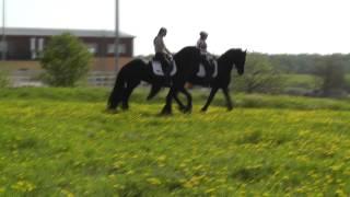 Верховые прогулки на фризских лошадях