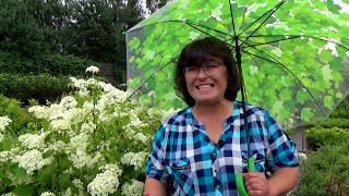 Смотреть видео Гортензия крупнолистная: лучшие сорта, посадка и уход