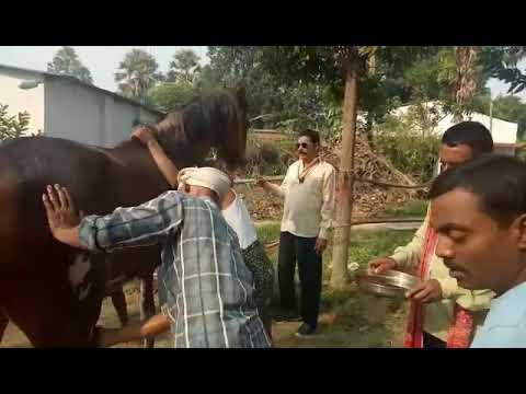 Bihar mokama mla anant singh in sonpur mela with his horse badal