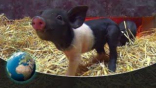 Cute & curious little fur friends - Little piglets having big adventures
