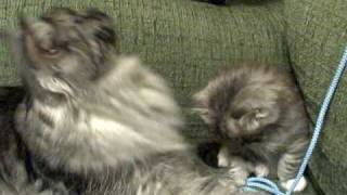 My Siberian cat talks to her kittens by chirping