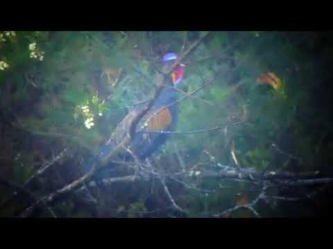 Kokok ayam hutan hijau di lereng Merapi