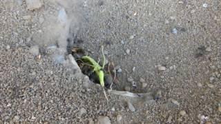 説明 バッタを襲う蟻たち。 不用意にアリの巣に近づいたばかりに、バッ...