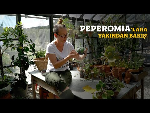 Peperomia'lara Yakından Bakış 👀  Bitkileri Tanıyalım - Labofem