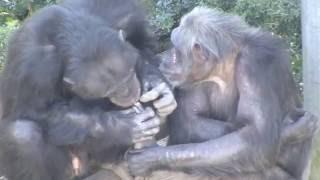 生徒の才能をひきだしたのは、先生との信頼関係。 世界的なチンパンジー...