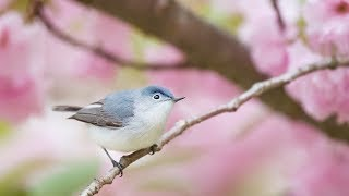 """Peaceful Relaxing Instrumental Music, Meditation Nature Music """"Birds of Spring"""" by Tim Janis"""