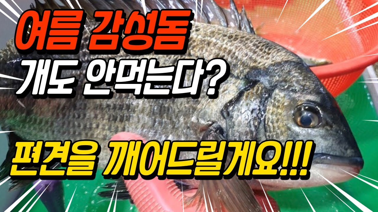 [4K] 여름 감성돔 누가 똥이라고 개도 안먹는다고 했나요? 편견깨기영상 [수아아빠TV]