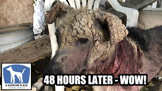 MARIBEL - Rescued dog has horrible mange. But 48 hours later...
