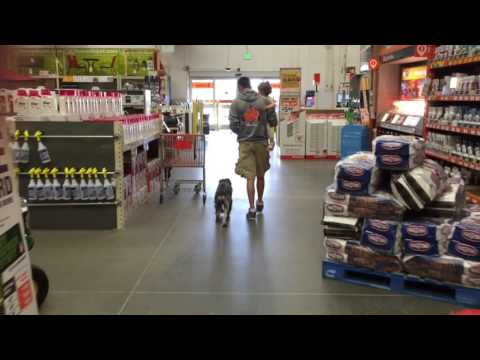Amazing Standard Schnauzer Off Leash Heeling through a Store! | Top Recommended Georgia Dog Trainers