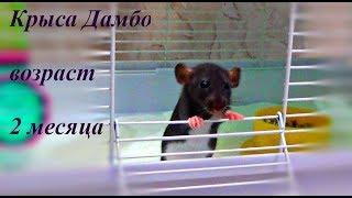 КРЫСА ДАМБО 🐀, возраст 2 месяца - крыса Ириска