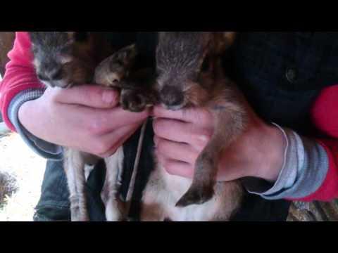 У нас пополнение -двое новорожденных патагонских зайцев