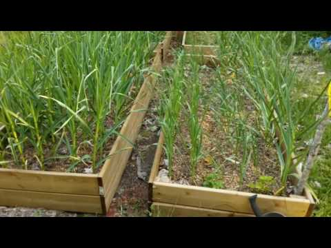 Growing a small scale garlic and asparagus