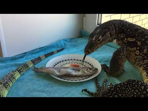 Домашний динозавр изволит завтракать