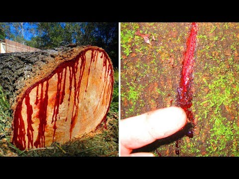 Facts about the strangest tree in the world | Dragon Blood