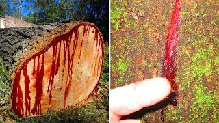 Video Facts about the strangest tree in the world   Dragon Blood download MP3, 3GP, MP4, WEBM, AVI, FLV November 2017