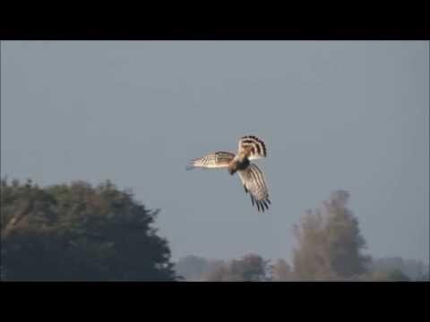 Hen Harrier Hunting / Blauwe Kiekendief vrouwtje jaagt stolpweg Circus cyaneus