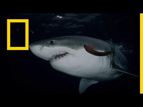 خاص القروش: أسماك القرش آكلة اللحوم | ناشونال جيوغرافيك أبوظبي