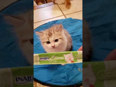 RagaMuffin kittens at 10 weeks part 1