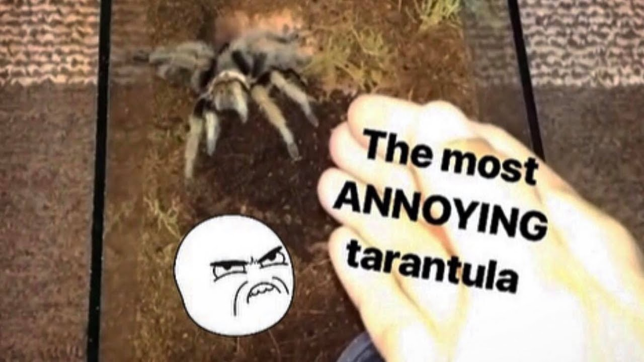 this-tarantula-is-so-annoying-but-for-a-creative-reason
