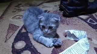 Кошка дурачится и играет