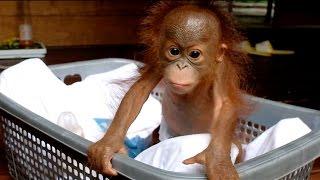 【かわいい】生後2ヶ月の赤ちゃんオランウータン