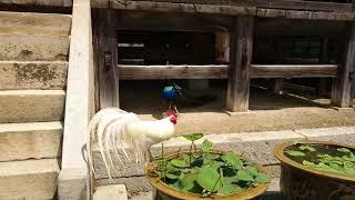 鶏と孔雀は喧嘩とかしないのか?