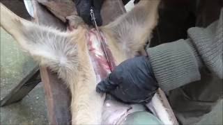 Baixar (18+) Jagd - Reh erlegen und aufbrechen