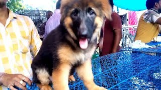 Double Coat Heavy Bone Imported Blood Line German Shephard Puppy Now At Galiff Street