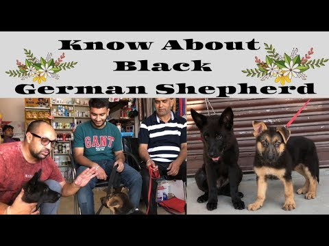 pet-care---know-about-black-single-coat-german-shepherd-|-gsd-|-bholashola-|-harwinder-singh-grewal