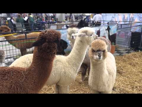 North American Alpaca Show in full swing on the grounds of the Big E