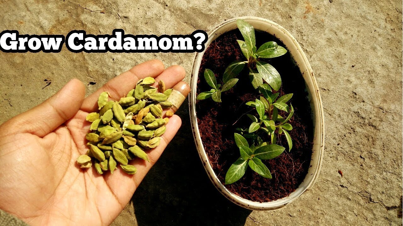 grow cardamom plant from seeds with result will. Black Bedroom Furniture Sets. Home Design Ideas