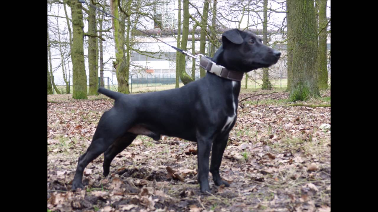 patterdale terrier for sale patterdale terrier youtube 8533