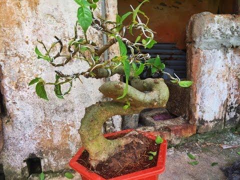 Hướng dẫn kỹ thuật uốn sung cho người mới chơi! Fig tree bonsai bending technique for beginner!