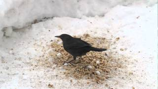 Buntspecht/Spotted Woodpecker, Amsel/Blackbird, Spatz/Sparrow, Blaumeise/Blue Tit  in Schnee/Snow