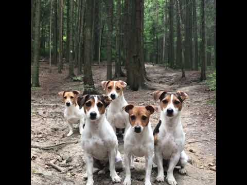 crazy JACK RUSSELL TERRIER Family 😂