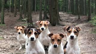 crazy JACK RUSSELL TERRIER Family
