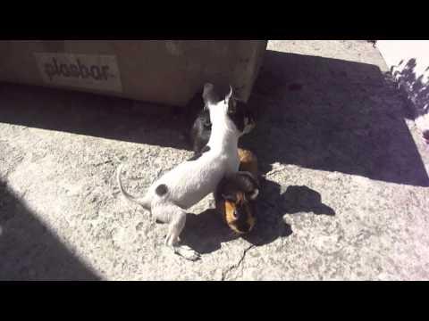 Un cuyo jugando con un perro
