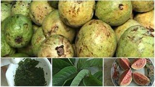 Manfaat Jambu Biji (Psidium Guajava) Untuk KESEHATAN Mp3