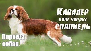 Породы собак. Кавалер кинг чарльз спаниель