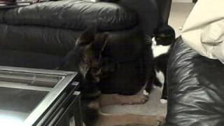 German Shepherd Puppy And Cat Boxing - Funny