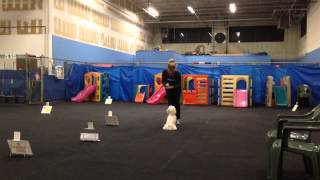 Lori The Maltipoo- Puppy Training 9/29