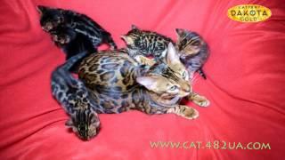 Будни питомника бенгальской кошки Dakota Gold   Играемся с бенгальскими котятами